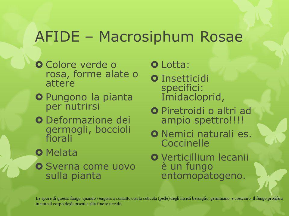 AFIDE – Macrosiphum Rosae  Colore verde o rosa, forme alate o attere  Pungono la pianta per nutrirsi  Deformazione dei germogli, boccioli fiorali 