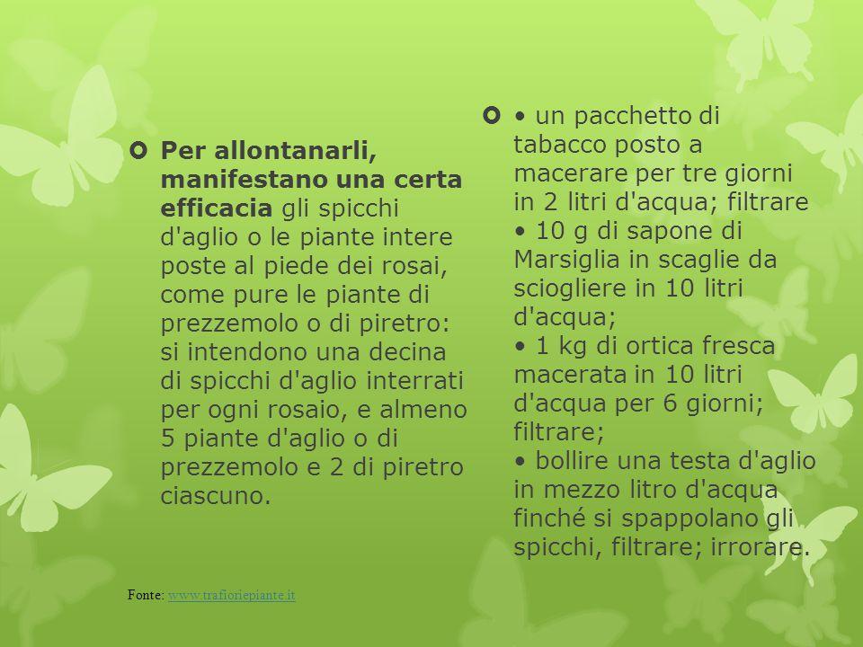  Per allontanarli, manifestano una certa efficacia gli spicchi d'aglio o le piante intere poste al piede dei rosai, come pure le piante di prezzemolo
