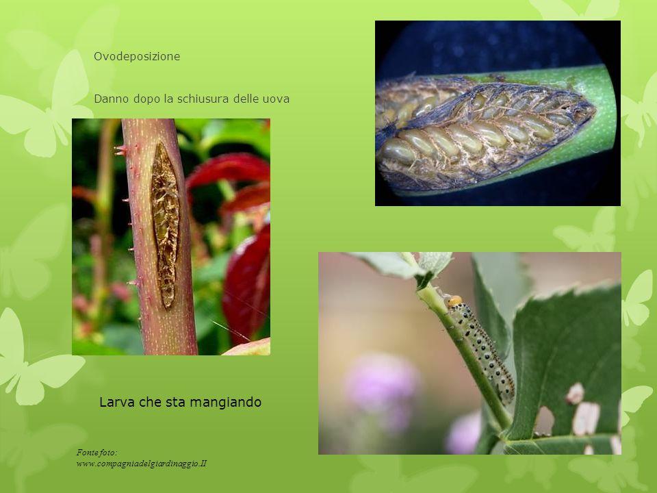 Ovodeposizione Danno dopo la schiusura delle uova Larva che sta mangiando Fonte foto: www.compagniadelgiardinaggio.II
