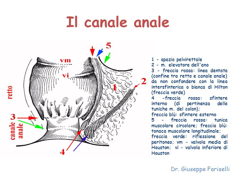 Il canale anale Dr. Giuseppe Fariselli 1 - spazio pelvirettale 2 - m. elevatore dell'ano 3 - freccia rossa: linea dentata (confine tra retto e canale