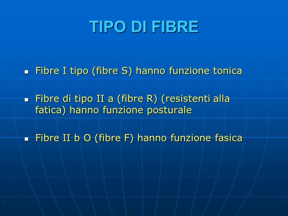 TIPO DI FIBRE Fibre I tipo (fibre S) hanno funzione tonica Fibre I tipo (fibre S) hanno funzione tonica Fibre di tipo II a (fibre R) (resistenti alla