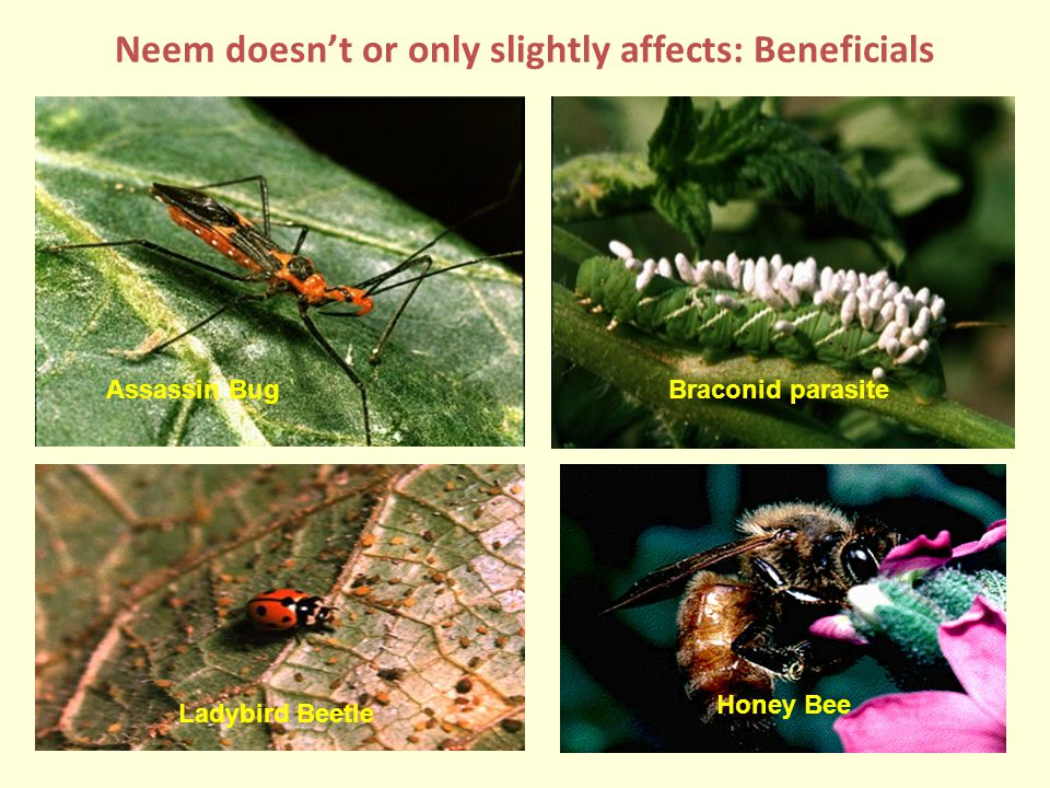 Neem doesn't or only slightly affects: Beneficials Braconid parasiteAssassin Bug Ladybird Beetle Honey Bee