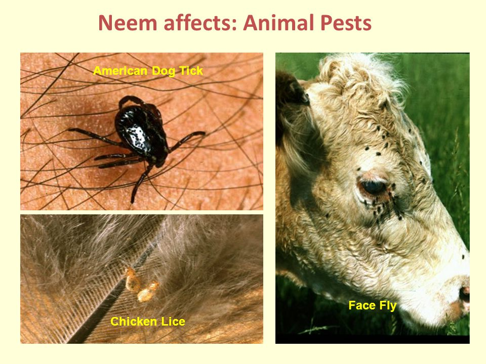 Neem affects: Animal Pests Face Fly American Dog Tick Chicken Lice