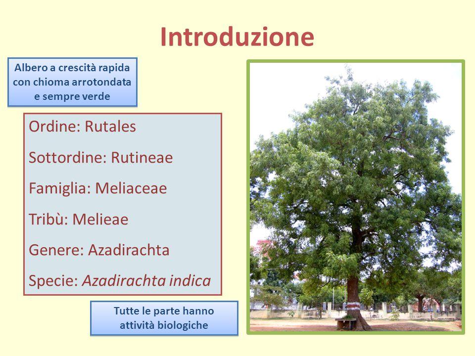 Introduzione Albero a crescità rapida con chioma arrotondata e sempre verde Ordine: Rutales Sottordine: Rutineae Famiglia: Meliaceae Tribù: Melieae Ge