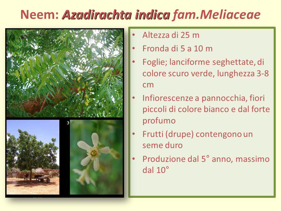 Azadirachta indica Neem: Azadirachta indica fam.Meliaceae Altezza di 25 m Fronda di 5 a 10 m Foglie; lanciforme seghettate, di colore scuro verde, lunghezza 3-8 cm Infiorescenze a pannocchia, fiori piccoli di colore bianco e dal forte profumo Frutti (drupe) contengono un seme duro Produzione dal 5° anno, massimo dal 10°