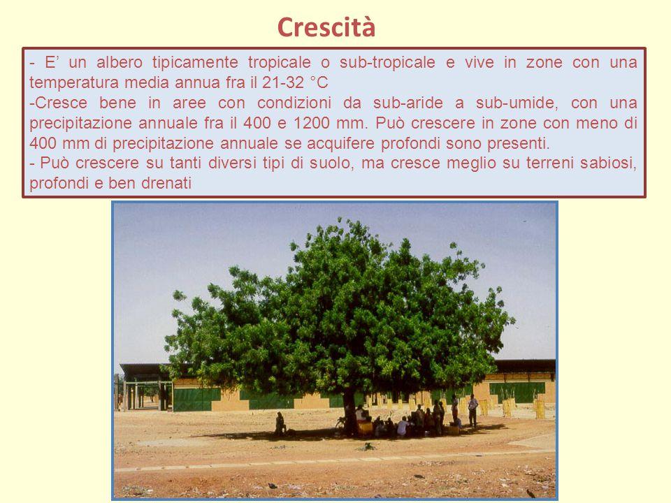 Crescità - E' un albero tipicamente tropicale o sub-tropicale e vive in zone con una temperatura media annua fra il 21-32 °C -Cresce bene in aree con condizioni da sub-aride a sub-umide, con una precipitazione annuale fra il 400 e 1200 mm.