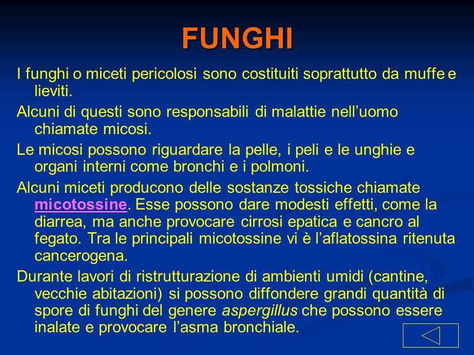 FUNGHI I funghi o miceti pericolosi sono costituiti soprattutto da muffe e lieviti. Alcuni di questi sono responsabili di malattie nell'uomo chiamate
