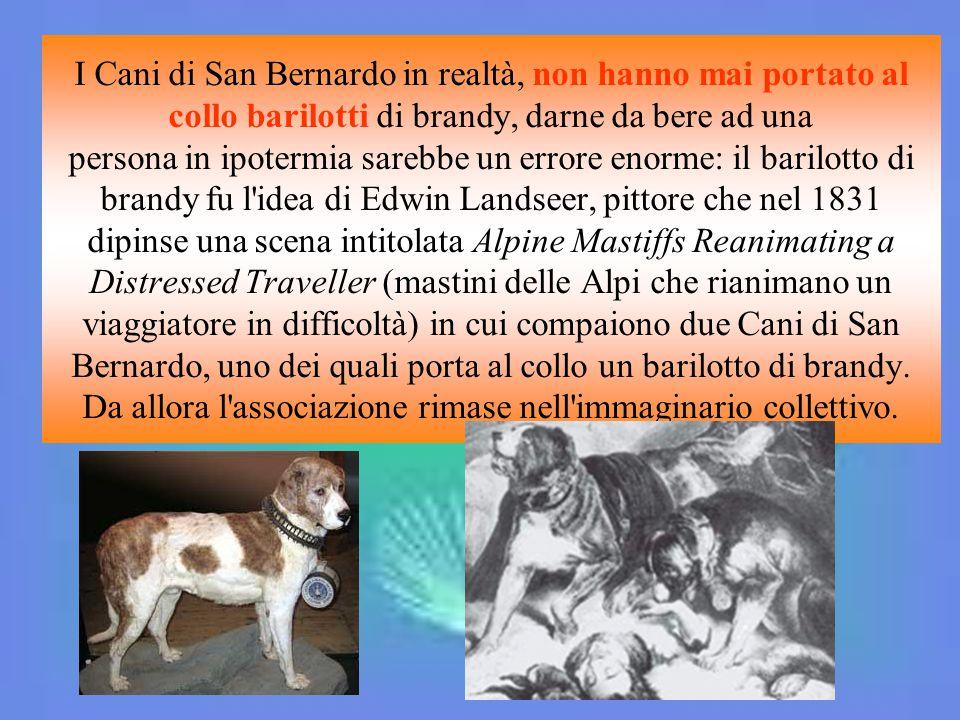 I Cani di San Bernardo in realtà, non hanno mai portato al collo barilotti di brandy, darne da bere ad una persona in ipotermia sarebbe un errore enor