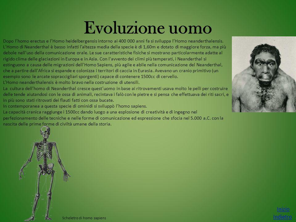 Evoluzione uomo Inizio Indietro Dopo l'homo erectus e l'Homo heidelbergensis intorno ai 400 000 anni fa si sviluppa l'Homo neanderthalensis. L'Homo di