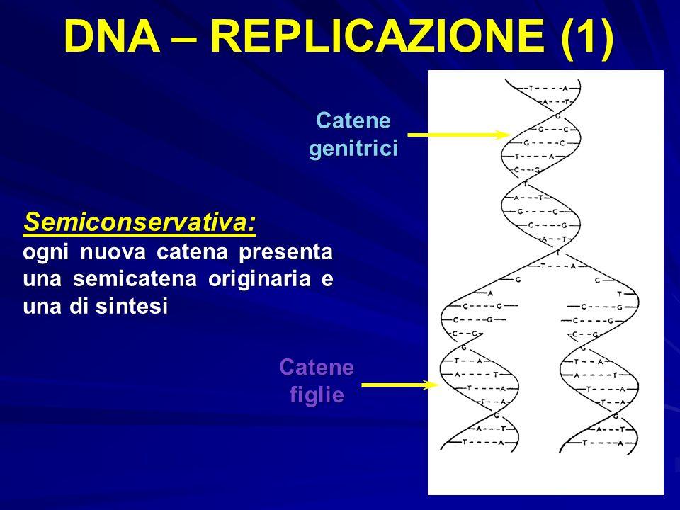 DNA – REPLICAZIONE (1) Catene genitrici Catenefiglie Semiconservativa: ogni nuova catena presenta una semicatena originaria e una di sintesi