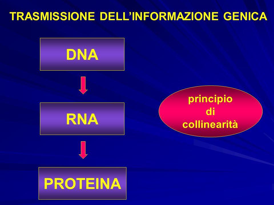 principio di collinearità RNA PROTEINA DNA TRASMISSIONE DELL'INFORMAZIONE GENICA