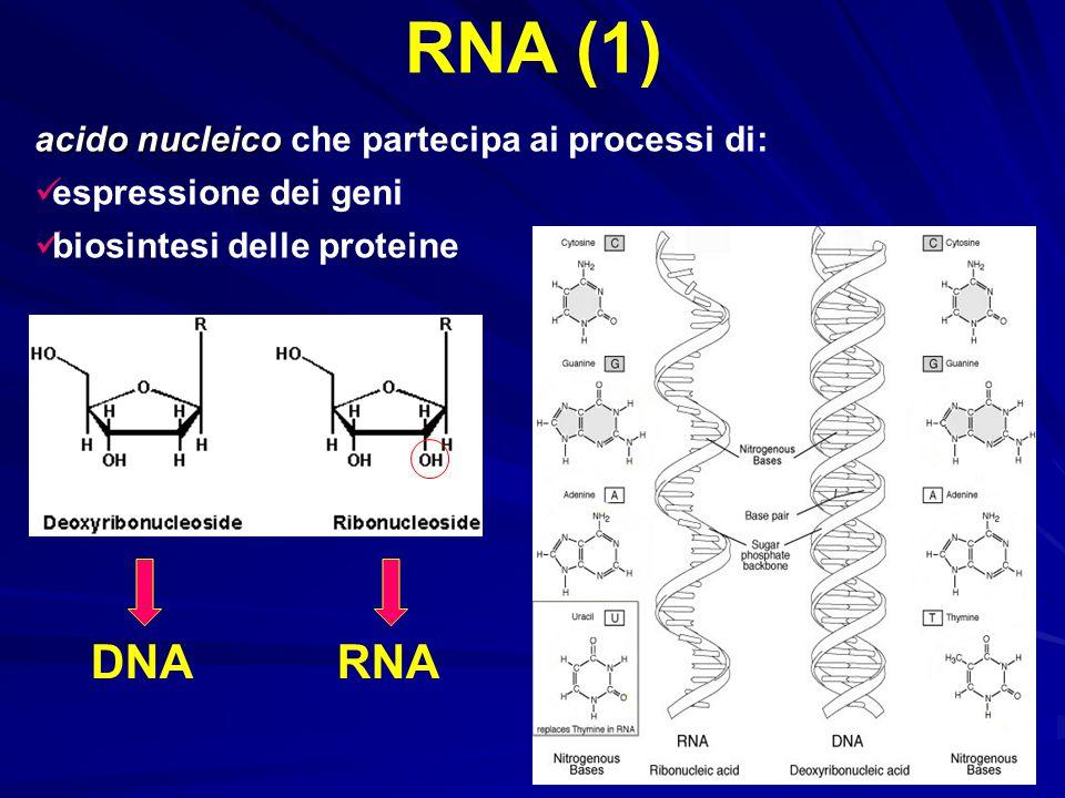 acido nucleico acido nucleico che partecipa ai processi di: espressione dei geni biosintesi delle proteine RNA (1) DNARNA