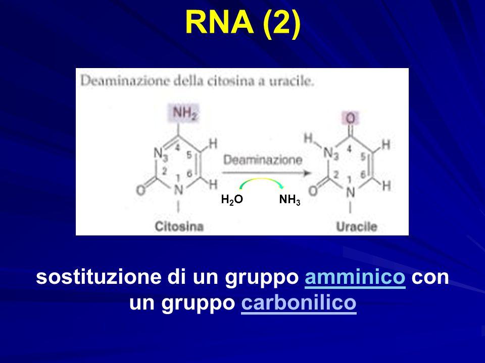 RNA (2) sostituzione di un gruppo amminico con un gruppo carbonilicoamminico H2OH2ONH 3