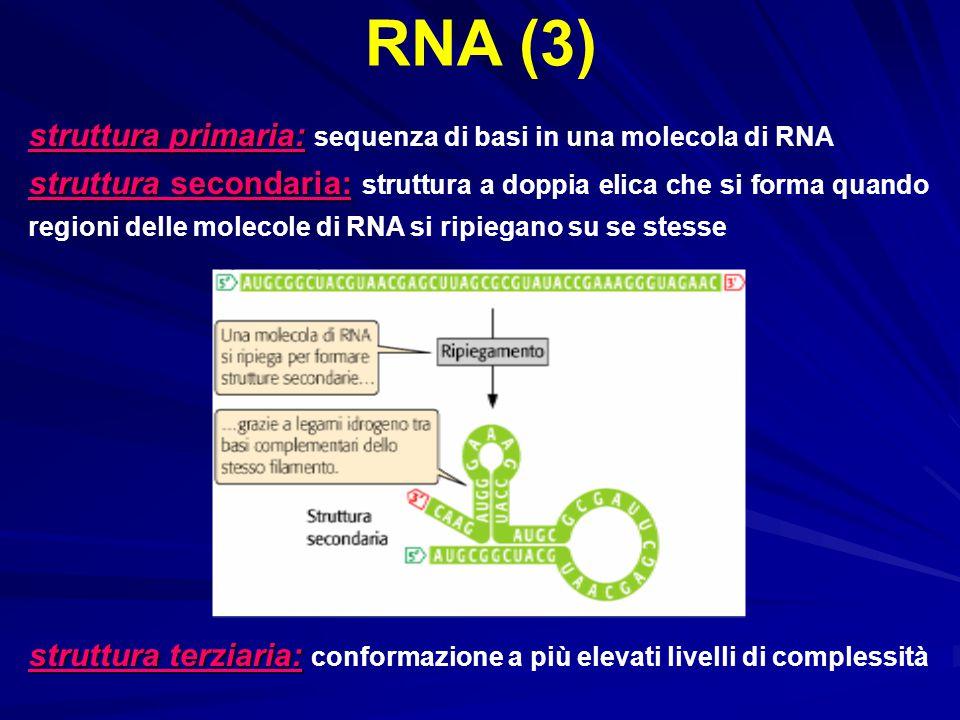 struttura primaria: struttura primaria: sequenza di basi in una molecola di RNA struttura secondaria: struttura secondaria: struttura a doppia elica c
