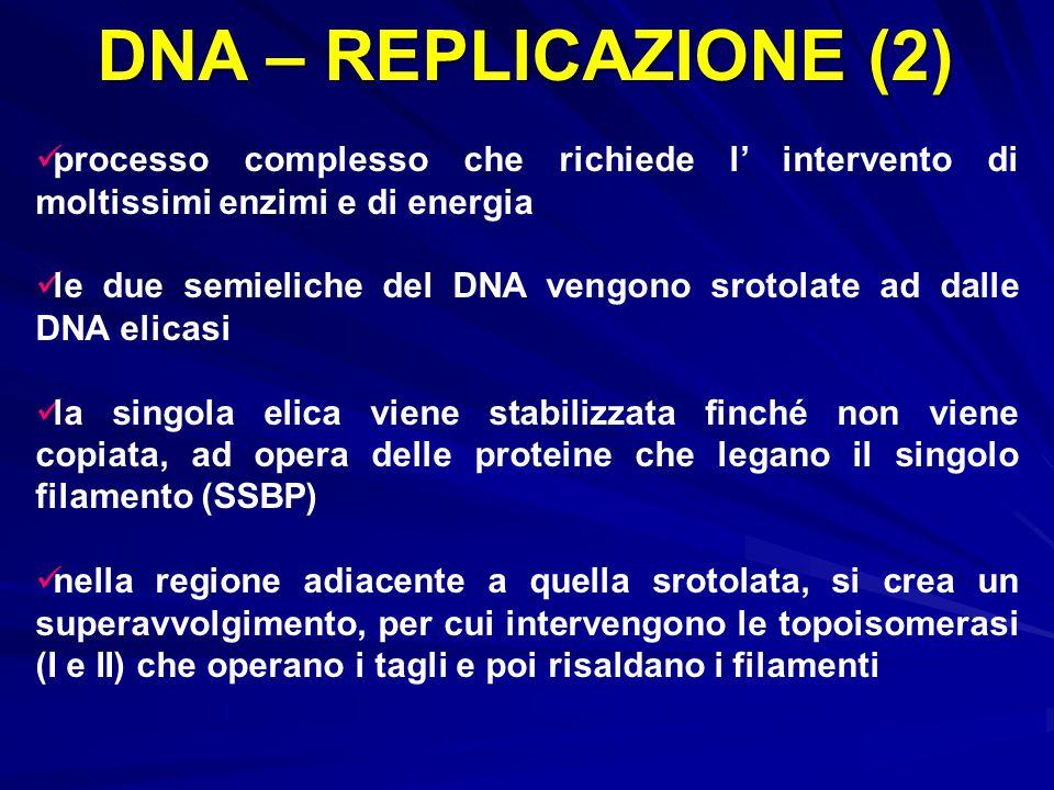 DNA – REPLICAZIONE (2) processo complesso che richiede l' intervento di moltissimi enzimi e di energia le due semieliche del DNA vengono srotolate ad