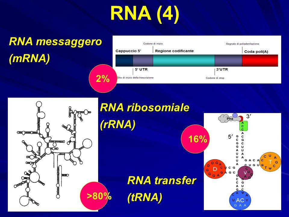 RNA messaggero (mRNA) RNA (4) RNA transfer (tRNA) RNA ribosomiale (rRNA) 2% >80% 16%