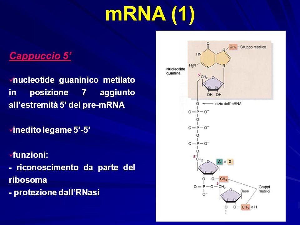 mRNA (1) Cappuccio 5' nucleotide guaninico metilato in posizione 7 aggiunto all'estremità 5' del pre-mRNA inedito legame 5'-5' funzioni: - riconoscime