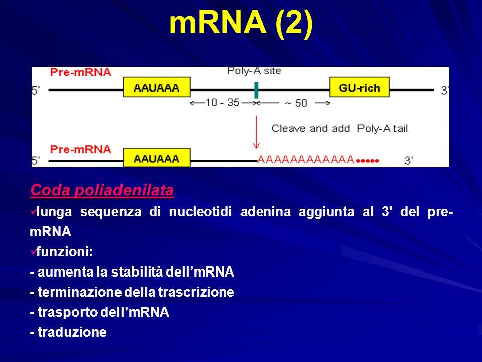 mRNA (2) Coda poliadenilata lunga sequenza di nucleotidi adenina aggiunta al 3' del pre- mRNA funzioni: - aumenta la stabilità dell'mRNA - terminazion
