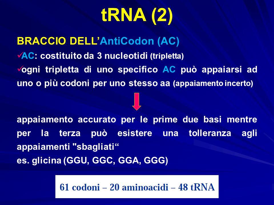 tRNA (2) BRACCIO DELL'AntiCodon (AC) AC: costituito da 3 nucleotidi (tripletta) ogni tripletta di uno specifico AC può appaiarsi ad uno o più codoni p