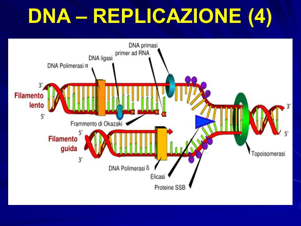 DNA – REPLICAZIONE (4)