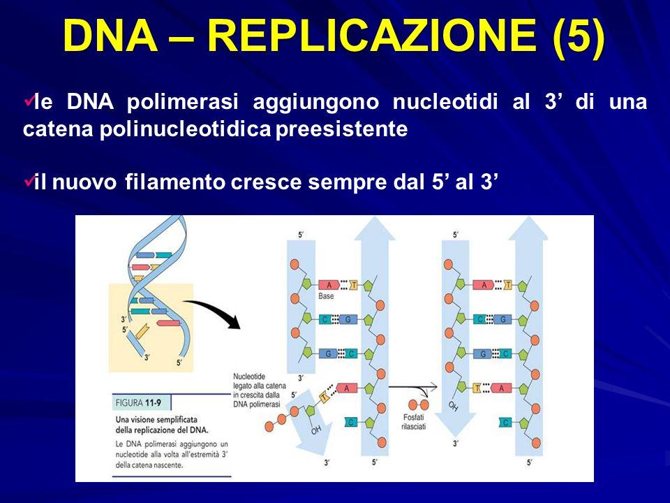 DNA – REPLICAZIONE (5) le DNA polimerasi aggiungono nucleotidi al 3' di una catena polinucleotidica preesistente il nuovo filamento cresce sempre dal