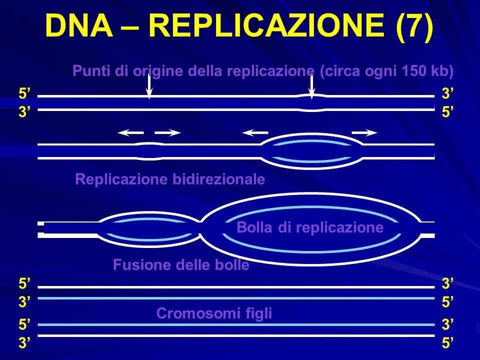 Punti di origine della replicazione (circa ogni 150 kb) Bolla di replicazione Cromosomi figli Fusione delle bolle Replicazione bidirezionale 5' 3' 5'