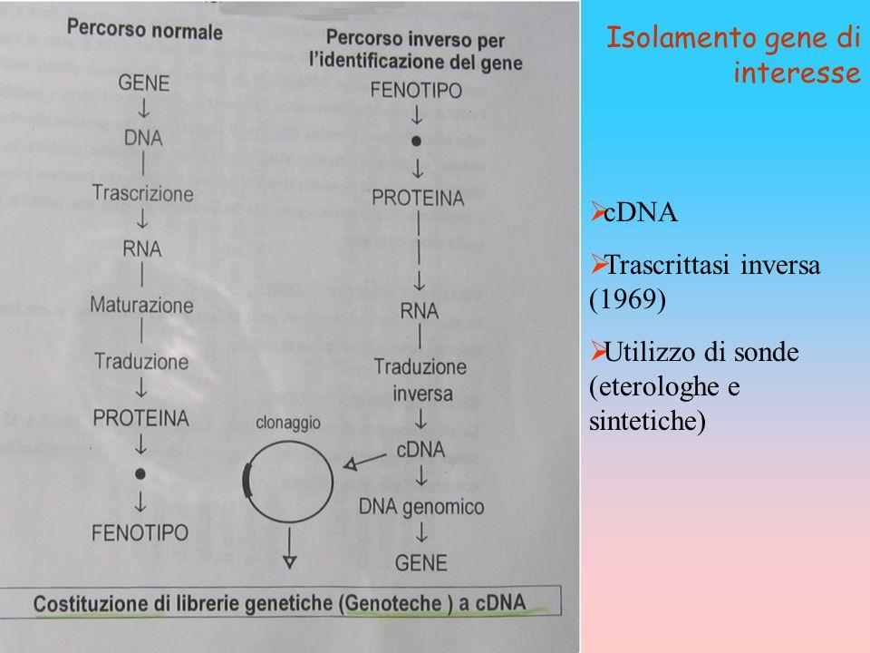  cDNA  Trascrittasi inversa (1969)  Utilizzo di sonde (eterologhe e sintetiche) Isolamento gene di interesse