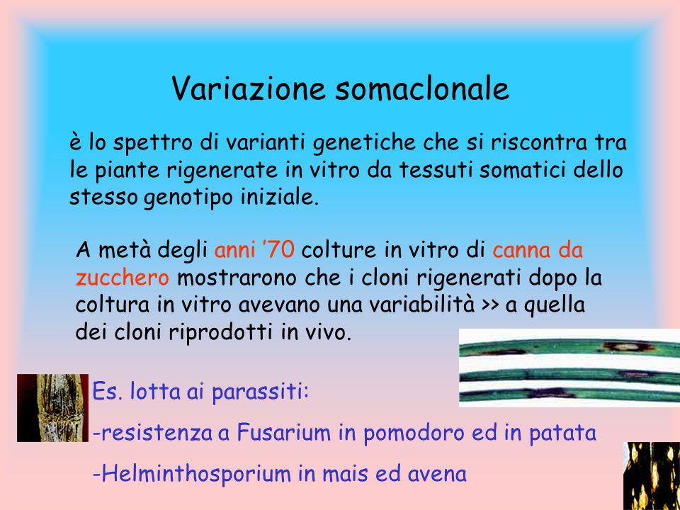 Variazione somaclonale è lo spettro di varianti genetiche che si riscontra tra le piante rigenerate in vitro da tessuti somatici dello stesso genotipo iniziale.