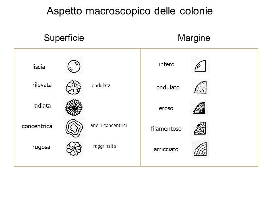 Aspetto macroscopico delle colonie Superficie Margine intero ondulato eroso filamentoso arricciato liscia radiata rugosa concentrica rilevata ondulata
