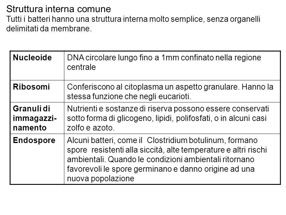 Struttura interna comune Tutti i batteri hanno una struttura interna molto semplice, senza organelli delimitati da membrane. NucleoideDNA circolare lu