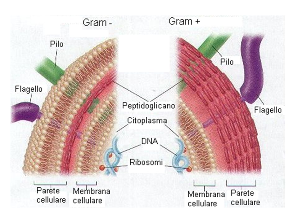 Classificazione per struttura interna MONERE ARCHEOBATTERI primitivi, con composizione chimica caratteristica: a) Metanogeni (in ambienti poveri di O 2 e producono CH 4 ) b) Alofili (in acque salate ) c) Termoacidofili ( in H 2 O calde a pH acido) CYANOBATTERI o ALGHE AZZURRE sono organismi autotrofi pionieri.