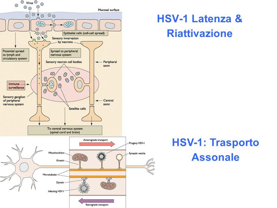 HSV-1 Latenza & Riattivazione HSV-1: Trasporto Assonale