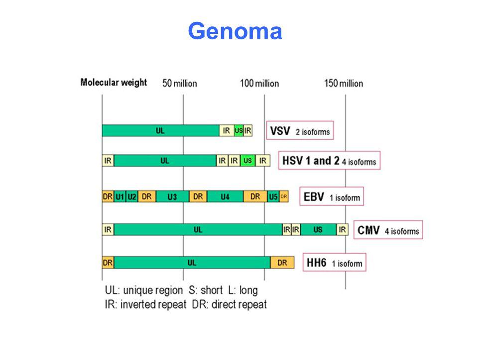 HHV-8 è presente nei linfociti B derivati da PEL (BCBL-1) Riattivazione dell'infezione con TPA