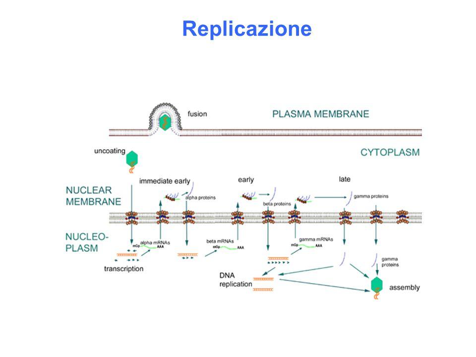 Geni alfa (precocissimi): fattori trascrizionali – proteine non presenti nel virione.