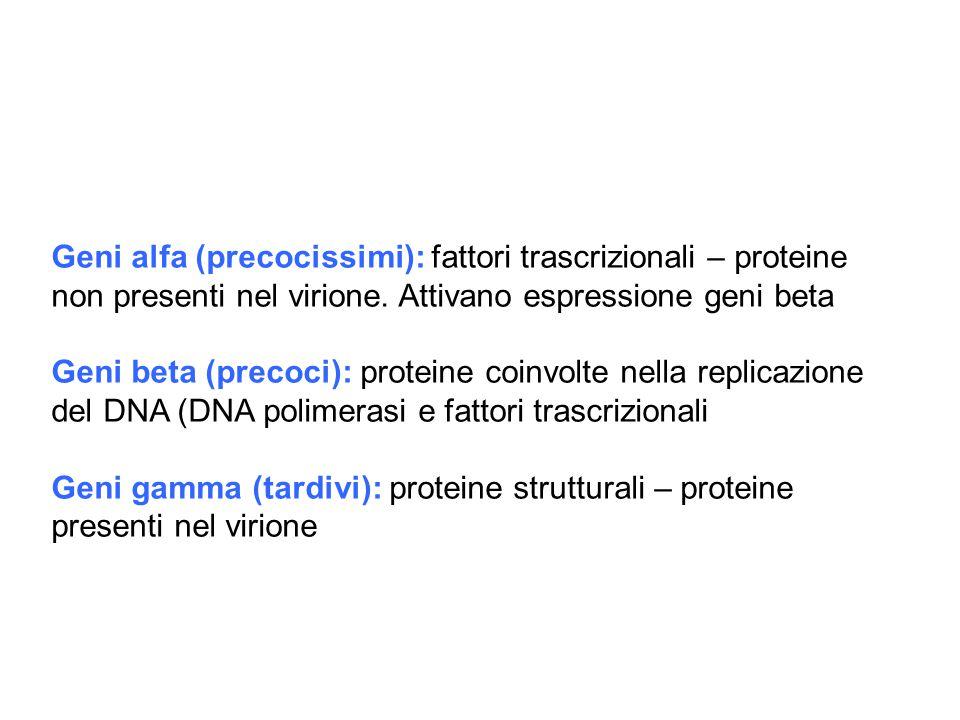 Geni alfa (precocissimi): fattori trascrizionali – proteine non presenti nel virione. Attivano espressione geni beta Geni beta (precoci): proteine coi