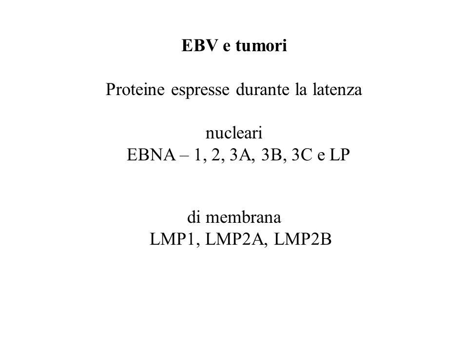 EBV e tumori Proteine espresse durante la latenza nucleari EBNA – 1, 2, 3A, 3B, 3C e LP di membrana LMP1, LMP2A, LMP2B