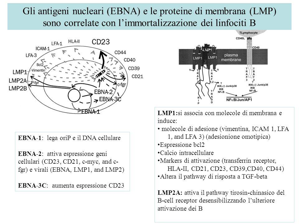 Gli antigeni nucleari (EBNA) e le proteine di membrana (LMP) sono correlate con l'immortalizzazione dei linfociti B EBNA-1: lega oriP e il DNA cellula