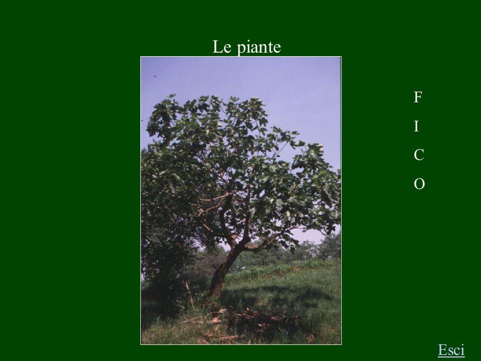 Le piante Esci R O B I N I A