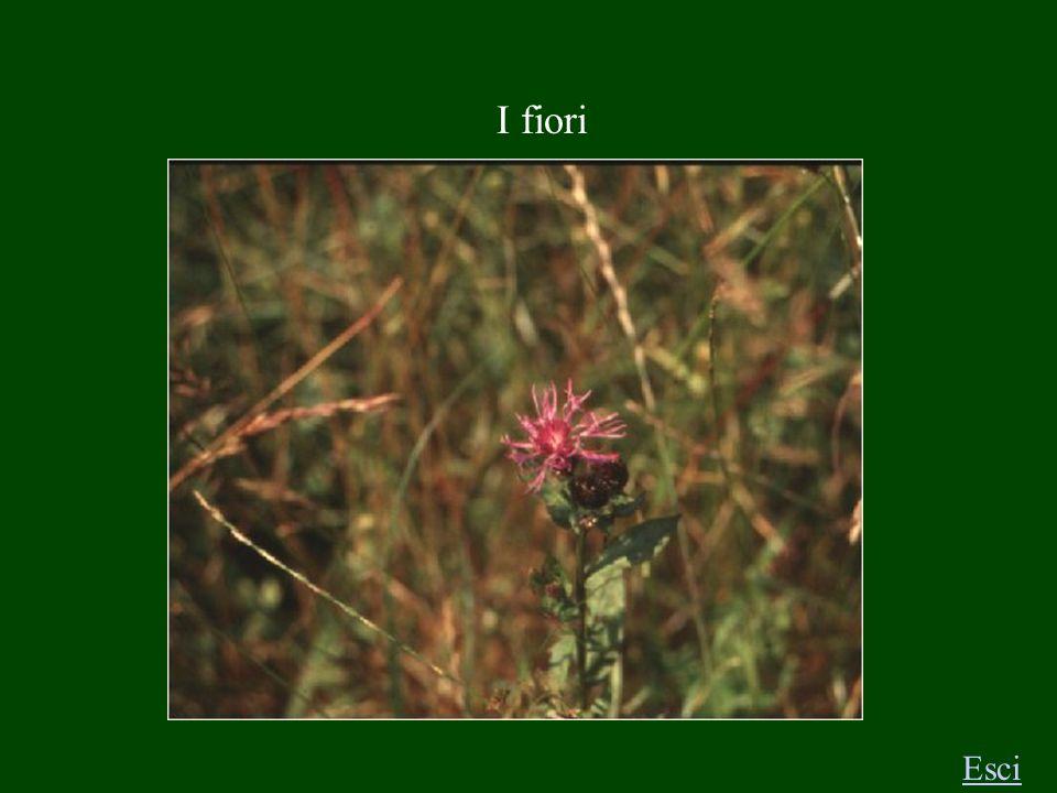 I fiori Esci T R I F O G L I O