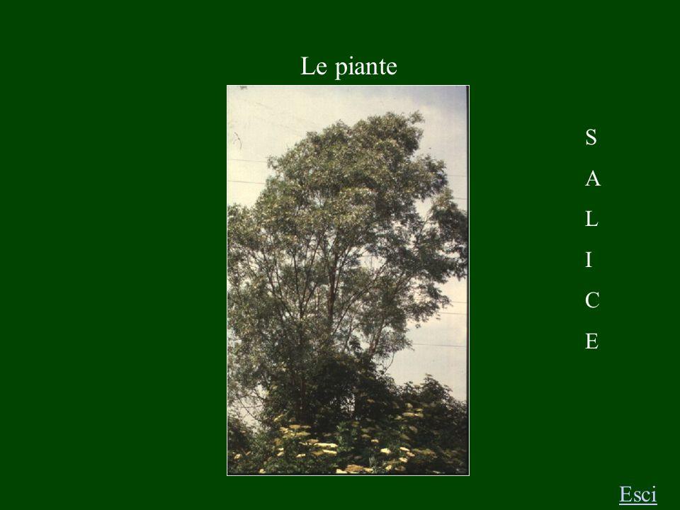 S A L I C E Le piante