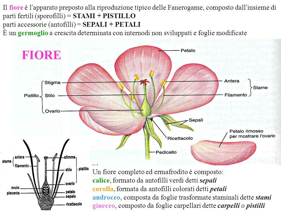 Il fiore è l ' apparato preposto alla riproduzione tipico delle Fanerogame, composto dall ' insieme di parti fertili (sporofilli) = STAMI + PISTILLO parti accessorie (antofilli) = SEPALI + PETALI È un germoglio a crescita determinata con internodi non sviluppati e foglie modificate Un fiore completo ed ermafrodito è composto: calice, formato da antofilli verdi detti sepali corolla, formata da antofilli colorati detti petali androceo, composta da foglie trasformate staminali dette stami gineceo, composto da foglie carpellari dette carpelli o pistilli FIORE