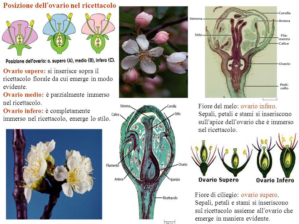 Posizione dell ' ovario nel ricettacolo Ovario supero: si inserisce sopra il ricettacolo fiorale da cui emerge in modo evidente. Ovario medio: è parzi