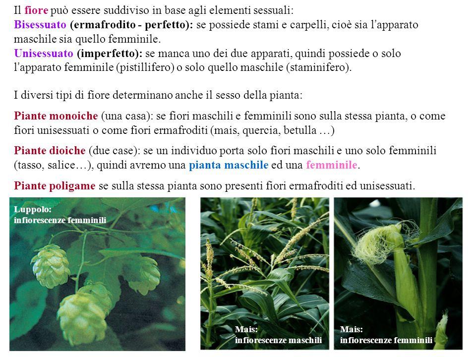 Il fiore può essere suddiviso in base agli elementi sessuali: Bisessuato (ermafrodito - perfetto): se possiede stami e carpelli, cioè sia l ' apparato maschile sia quello femminile.