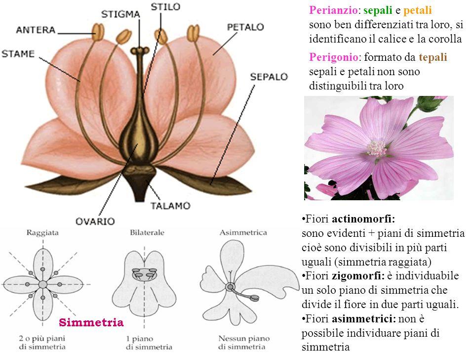 Perianzio: sepali e petali sono ben differenziati tra loro, si identificano il calice e la corolla Perigonio: formato da tepali sepali e petali non so