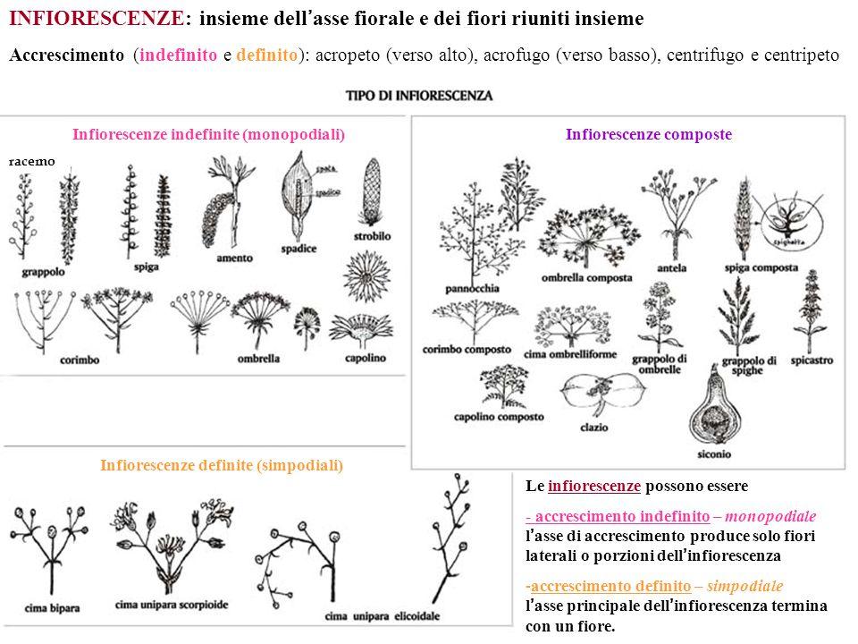 Infiorescenze indefinite (monopodiali) racemo Infiorescenze composte INFIORESCENZE: insieme dell ' asse fiorale e dei fiori riuniti insieme Le infiore