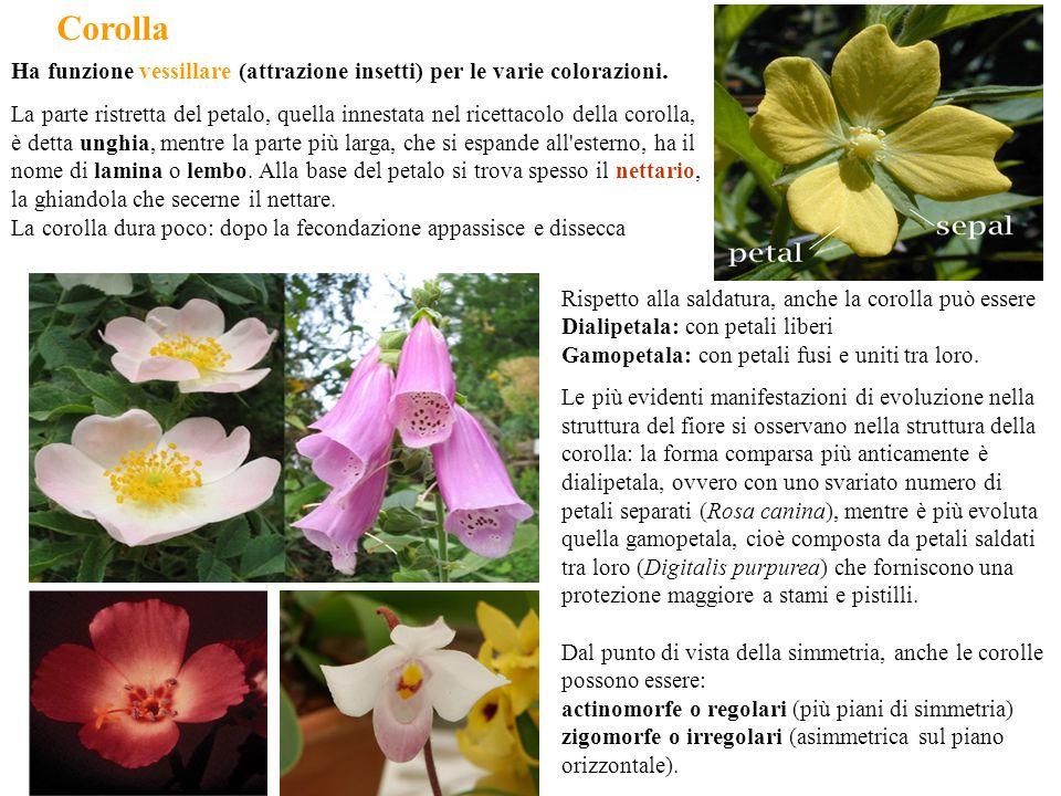 Corolla Rispetto alla saldatura, anche la corolla può essere Dialipetala: con petali liberi Gamopetala: con petali fusi e uniti tra loro. Le più evide
