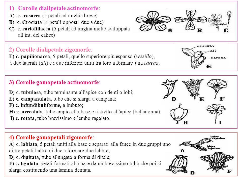4) Corolle gamopetali zigomorfe: A) c. labiata, 5 petali uniti alla base e separati alla fauce in due gruppi uno di tre petali l ' altro di due a form