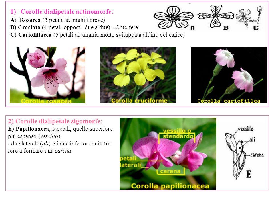 1)Corolle dialipetale actinomorfe: A) Rosacea (5 petali ad unghia breve) B) Crociata (4 petali opposti due a due) - Crucifere C) Cariofillacea (5 petali ad unghia molto sviluppata all ' int.