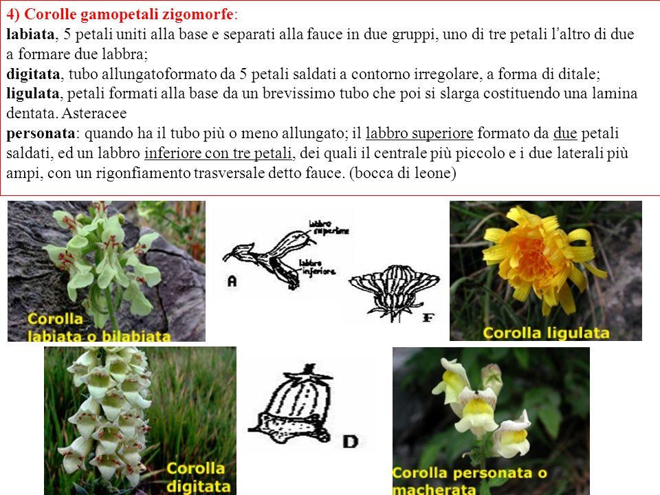 4) Corolle gamopetali zigomorfe: labiata, 5 petali uniti alla base e separati alla fauce in due gruppi, uno di tre petali l ' altro di due a formare d