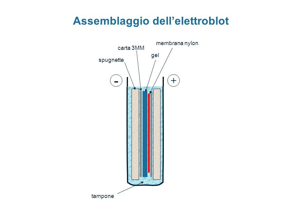 - + tampone carta 3MM spugnette gel membrana nylon Assemblaggio dell'elettroblot